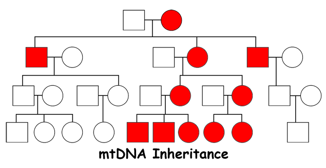 mtDNA1