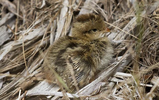 Quail-chick