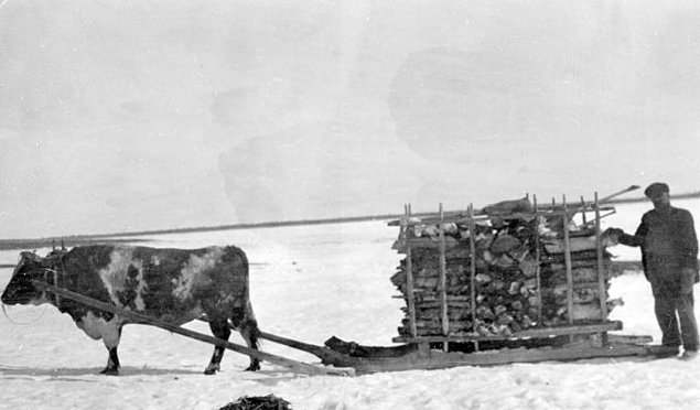 Ox-drawn_sledge_in_the_NWT