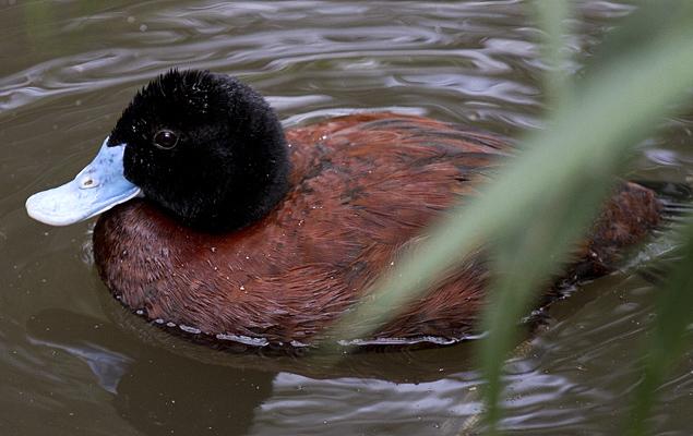blue.duck